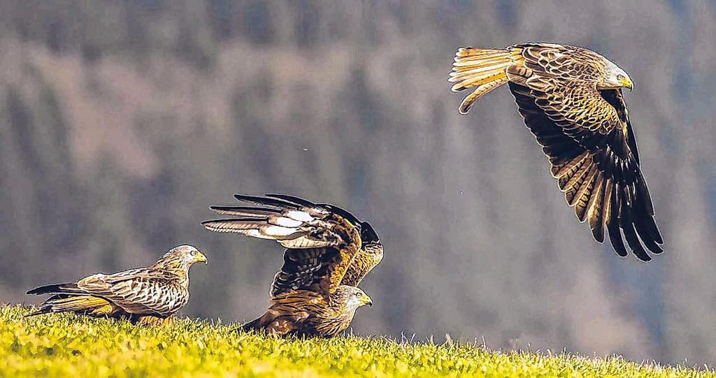 Wildes Wittgenstein: Vor allem die Tierfotografie erfordert auch großen Einsatz, um solch beeindruckende Aufnahmen einfangen zu können. (Foto: privat)