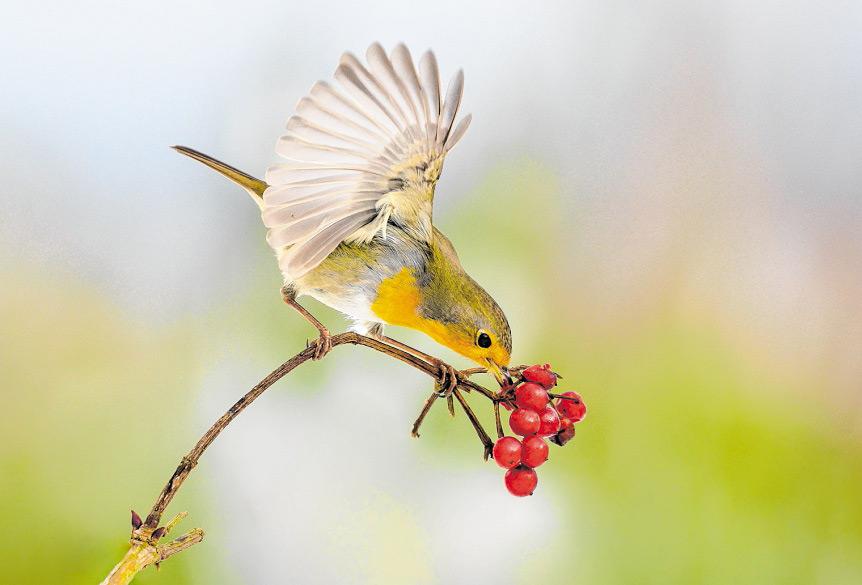 Ein Rotkehlchen bei der Futtersuche im Winter. Die kräftig roten Farbtupfer der Frucht des Schneeballs unterstützen den starken Eindruck dieser Aufnahme. (Foto: 'Wittgensteiner Land - Naturimpressionen')